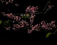 Cerejeira de inverno- SAKURA