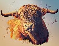Highland Catle