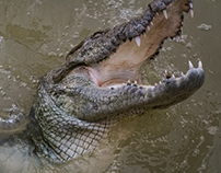 Freshwater Crocodiles Vol 1
