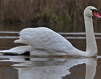 Swan family - mute and whooper swan