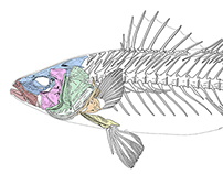Anatomy of a fish