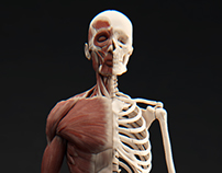 Muscular System Study