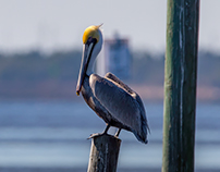 Pelicans and Poetry
