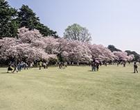 Tokyo - cherry blossoms
