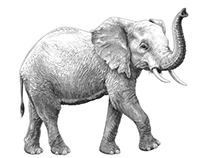 Olivia Knapp - Wild Aid - Year of the Elephant