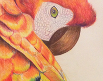 Macaw drawing