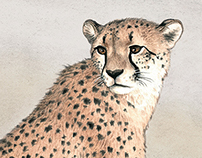 """Wild cats""-""Cheetahs"""