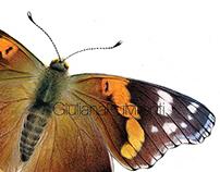 Vanessa atalanta (light colours)