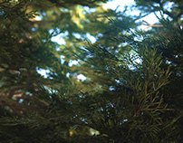 Ponderosa / Cedar forest