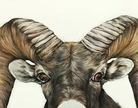 Ovis canadensis