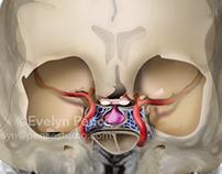 Pituitary gland: 3 views