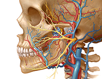 neurovascular anatomy of TMJ