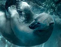 ANIMALS - Polar Bear