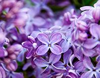 Lilac mind