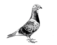 Illustrations for Pigeon racing t-shirt