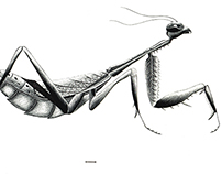 Praying Mantis Scientific Illustration