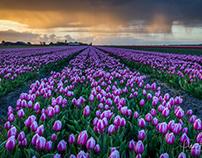 Dutch and tulips