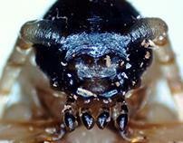 Under the Microscope - Pyrrhidium sanguineum