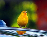 BIRD POPAYAN