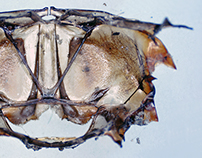 Under the Microscope - Water beetle metanotum