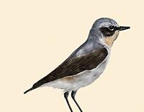 Birds | Digital Illustration