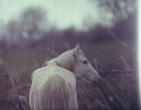 armenia, horses