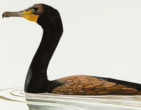 Cormorant Study #1