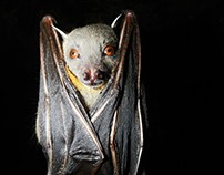 Chiroptera, the knight of the night