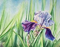 Irises 2017