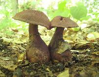 Wild Mushrooms of Minnesota 2011