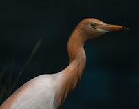 Balinese heron