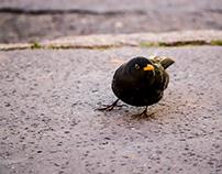 Blackbird on the sidewalk