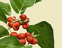 Ficus Amazónica