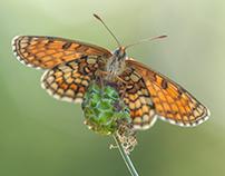 Macro Butterfly