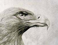 Hawk by Pencil