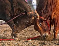 Bullfight in Fujairah