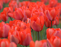 The World Of Tulips