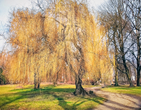 Weeping willow tree [via Smartphone]