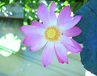 The Lovely Lotus