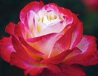 'English Roses'