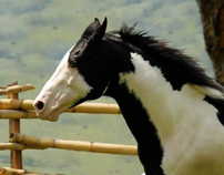 Equinos - Solla