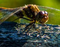 heath dragonfly(Heidelibelle)