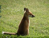 front yard fox