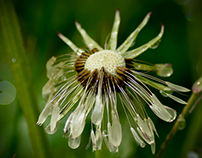 After the rain (dying dandelions)...