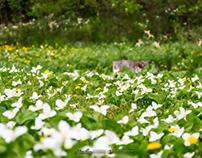Spring ephemeral - Trillium camschatcense (オオバナノエンレイソウ)
