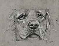 Dog study / Kimbo