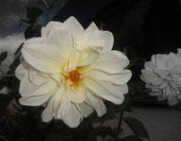Fleurs de Rêve