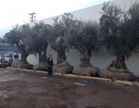 100 year old, 10,000 pound olive trees installed.