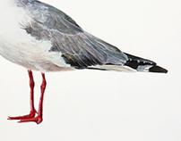 Grey-headed gull 𝐶𝘩𝑟𝑜𝑖𝑐𝑜𝑐𝑒𝑝𝘩𝑎𝑙𝑢𝑠 𝑐𝑖𝑟𝑟𝑜𝑐𝑒𝑝𝘩𝑎𝑙𝑢𝑠