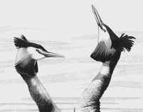 Great Crested Grebes, Drawing